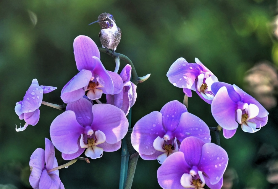 After watering the orchid before bringing it back inside, a hummingbird immediately flew to it and perched there for a moment as I grabbed my camera/telescope