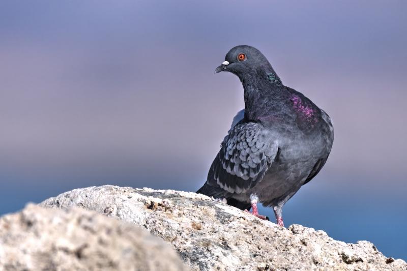 PigeonSalton (2) (800x533)